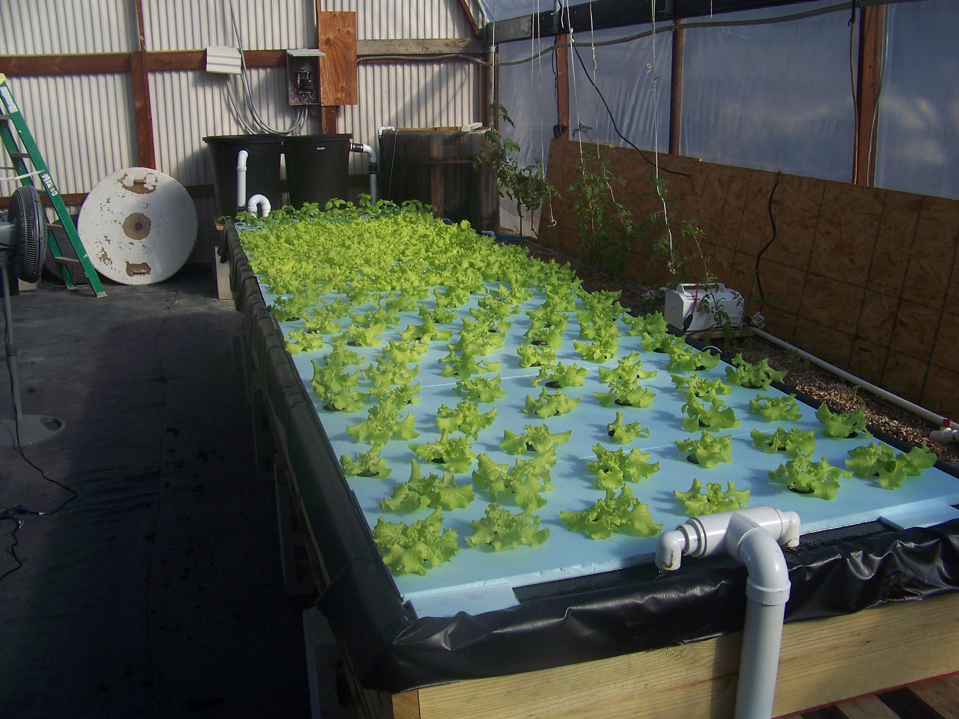 Di system free aquaponics info for Fish used in aquaponics