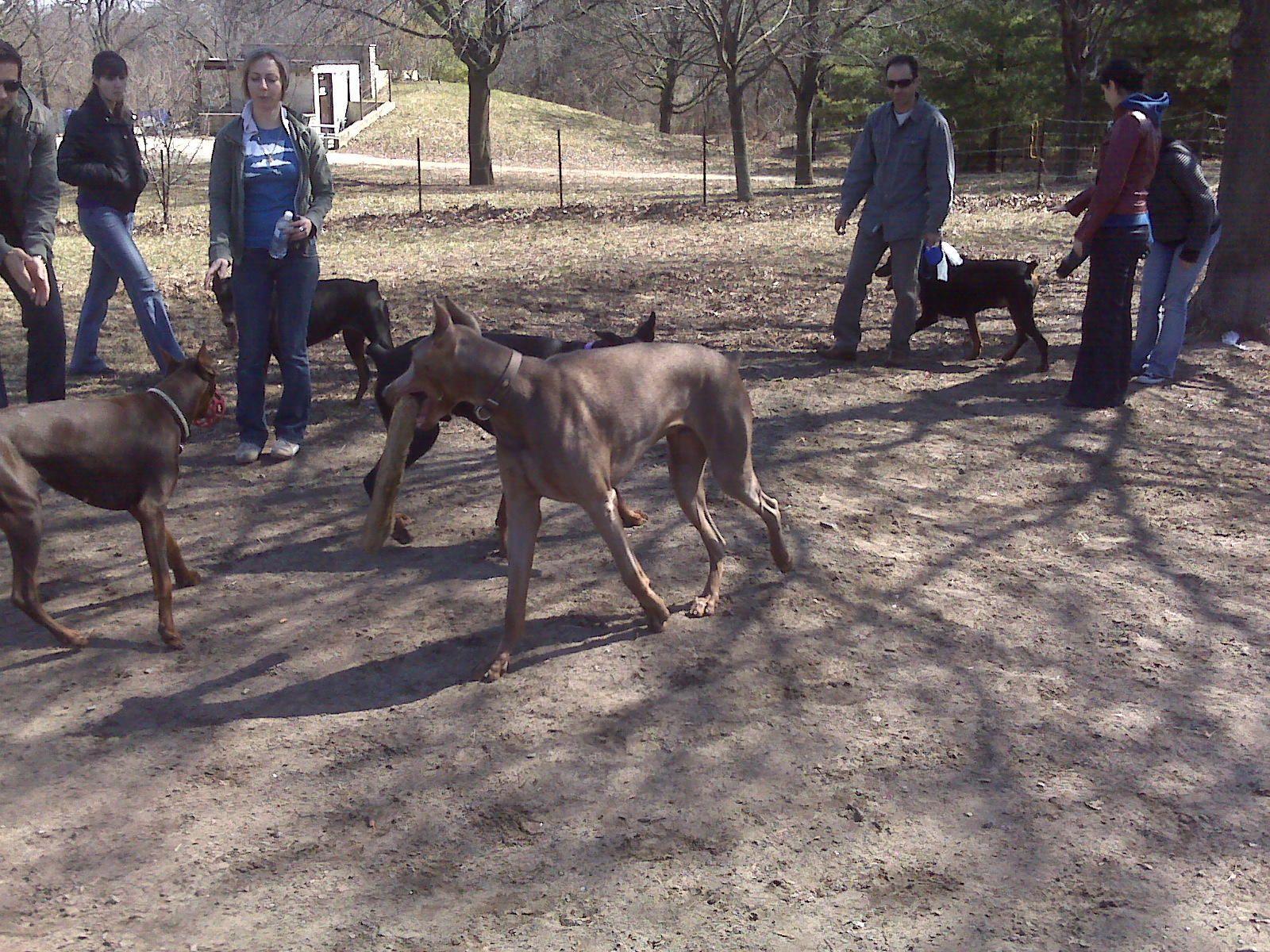 Pitbull Vs Doberman Pinscher | Dog Breeds Picture