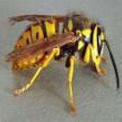 yellowjacket Avatar